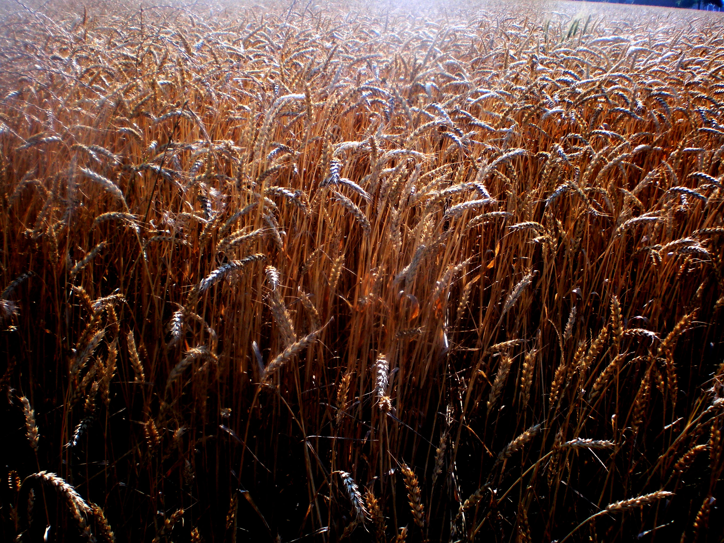 Wheat ready to harvest in the Delta
